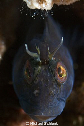 Blenny portrait off the coast of S. Carolina on the wreck... by Michael Schlenk 